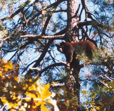 bear_treed.jpg