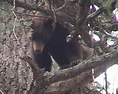 gp_bear_video.jpg