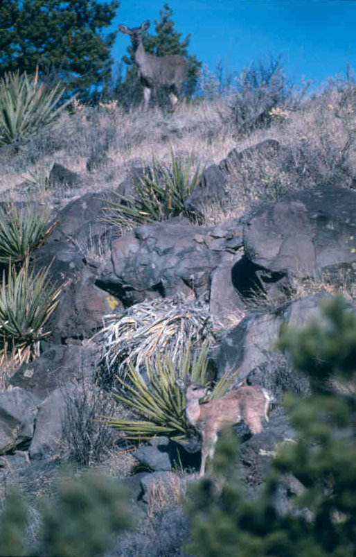 sf_coues_doe_fawn.jpg